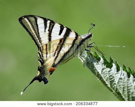Scarce Swallowtail (Iphiclides podalirius) in natural habitat in spring