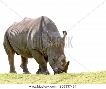 african rhino eating green grass isolated white background