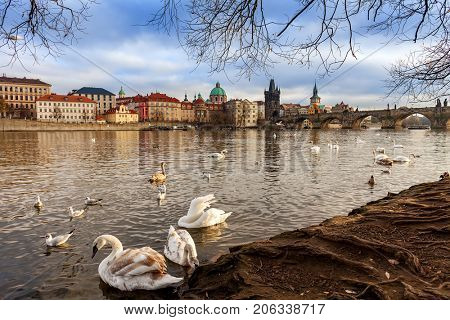 Swans on bank of Vltava river as Charles Bridge on background in Prague, Czech Republic.