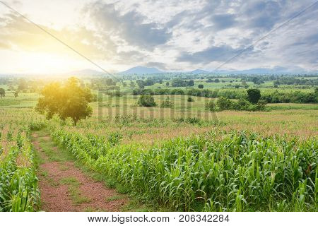 View Of Corn Field In Countryside At Sunset