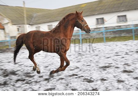 Running horse reddish-brown suit in snow blizzard on the background of the farm