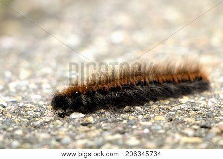 Black and orange hairy larvae moving on asphalt in autumn.