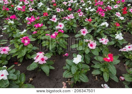 White, Pink And Red Flowers Of Catharanthus Roseus