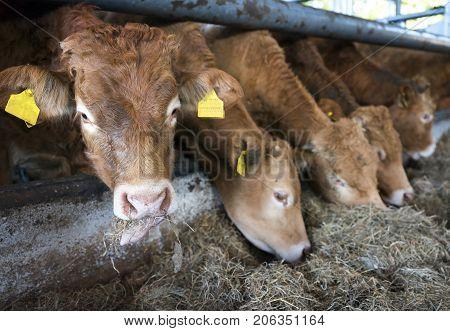 limousin calves feed inside open barn on organic farm in the netherlands near utrecht