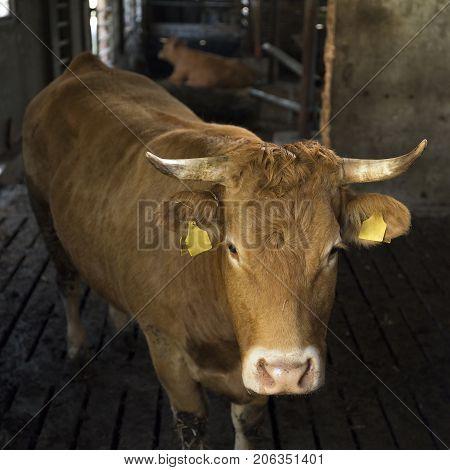 horned limousin cow inside barn on organic farm in the netherlands near utrecht