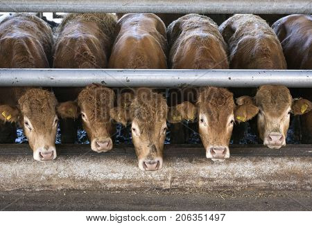 five limousin calves waiting for food inside open barn on organic farm in the netherlands near utrecht