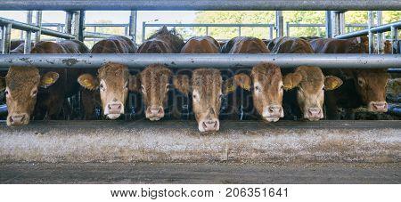 seven limousin cows wait for food inside open barn on organic farm in the netherlands near utrecht