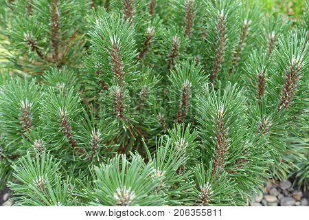 Leafage Of Pinus Mugo Tree In Spring