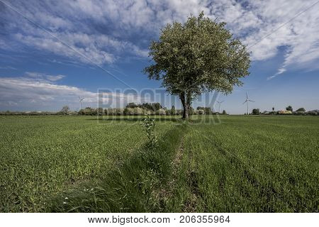 Lonely green tree among the green field