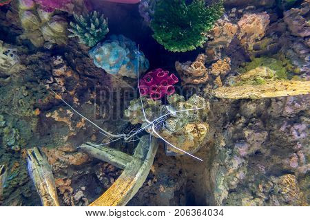 Panulirus versicolor. Blue/Green lobster Painted spiny lobster in marine aquarium