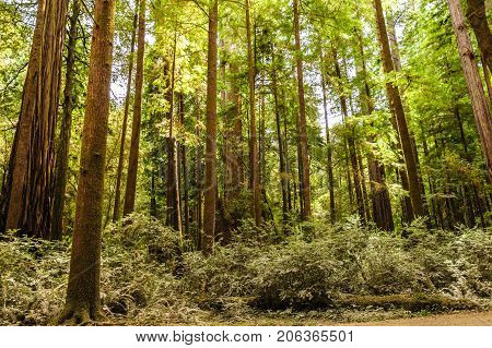 Impression of the Giant Redwoods in the Redwood National Forest along the Northern California Coast