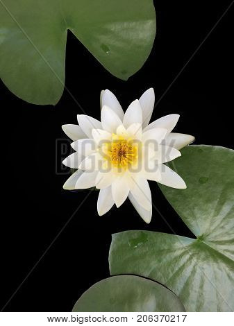 The beautiful white lotus flower or water lily and lily pad  in the pond