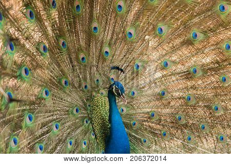 Peacock. Close up of peacock showing its beautiful feathers