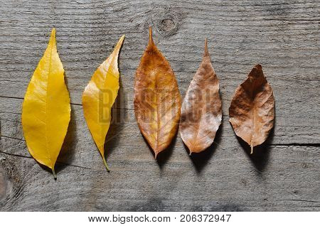 Life cycle of leaves on the wooden background. Color of leaves in autumn from green and yellow to brown