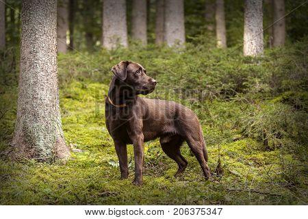 Brown Labrador Dog Outside