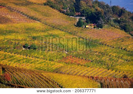 Rows of colorful autumnal vineyards on the hill in Piedmont, Northern Italy.
