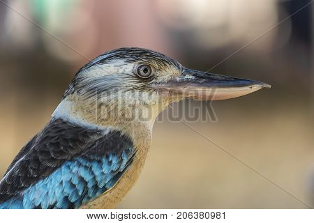Blue winged Kookaburra - profile of a blue and gold Australasia native
