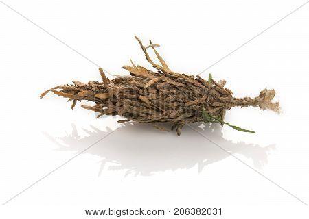 Single Bagworm Pupa
