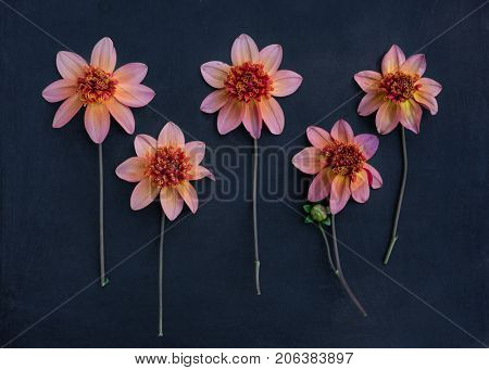 Five single flowering dahlias arranged on a dark rustic background.