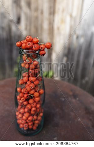 Ripe red fruits of mountain ash (Sorbus aucuparia) are located in the old glass bottle on a metal table. Close-up.