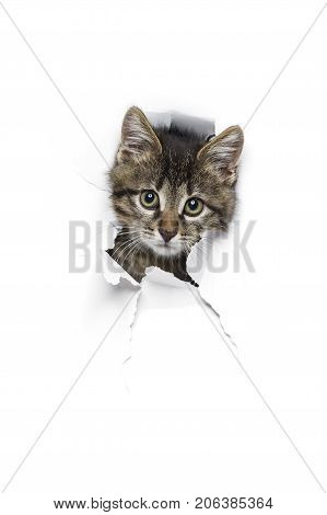 Kitty in hole of paper, little grey tabby cat looking through torn white background, funny pet
