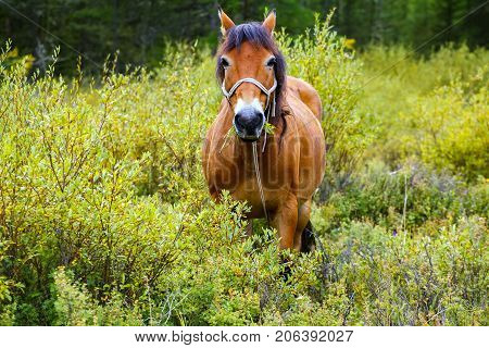 horse brown with white spots on the face. Pasture in the taiga forest. Horse looking at the camera and eating grass
