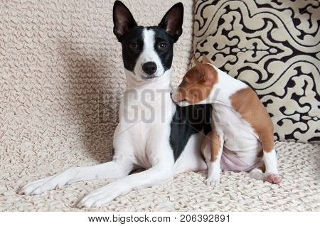 funny nice red Basenji puppy with mother black Basenji dog