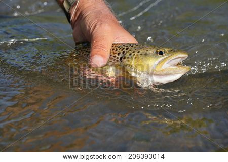 Closeup of brown trout caught in river