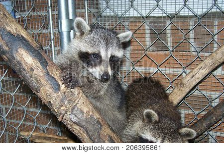 Raccoon learning how to climb tree during rehabilitation. Raccoon rehab time.