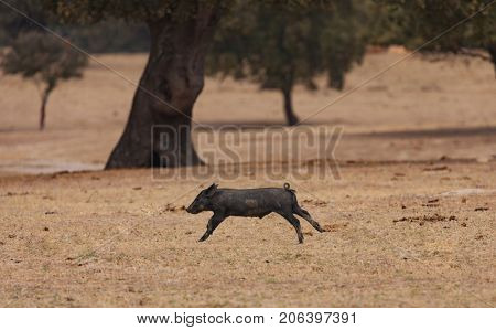 Iberian piggy running among the oaks in the field of Extremadura