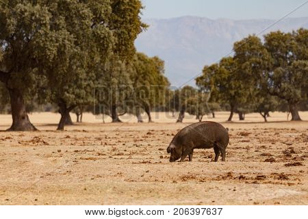 Iberian pig grazing among the oaks in the field of Extremadura