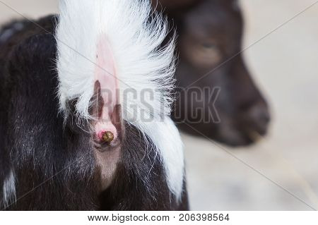 Close-up Of A Small Goat Pooing