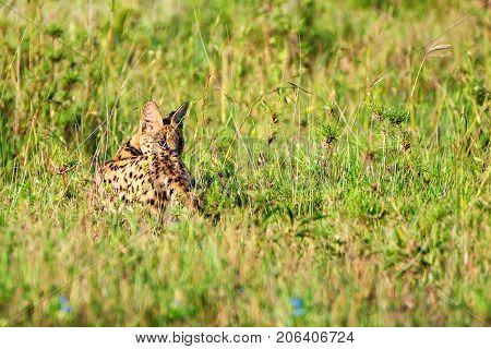 Serval wild cat or Leptailurus in the savanna grass
