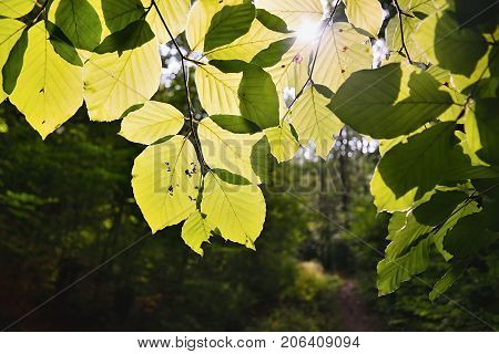 Sunshine Green Leaves Of Forest On Way To Bucina View At Beginning Of Autumn In West Bohemia