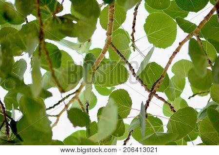 Aspen green tree leaves macro background texture