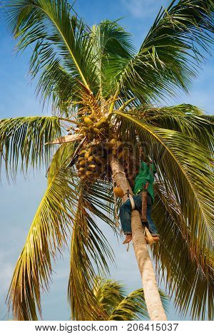 The palm worker takes off the coconuts