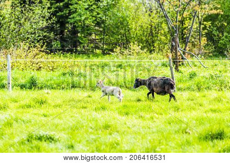 White Lamb Running On Green Pasture Field With Black Sheep Mother In Ile D'orleans, Quebec, Canada