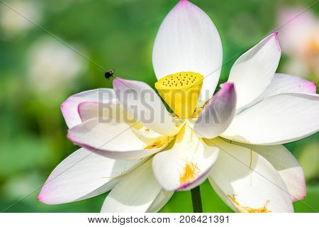 Macro Closeup Of Bright White And Pink Lotus Flower With Yellow Seedpod Inside And Bumblebee Flying