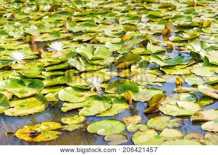 Closeup Of Many Blooming White Bright Lily Flowers With Pads In Pond