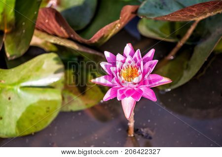 Blooming Pink Red Open Lily Flower With Pads, Insects Inside In Pond Water