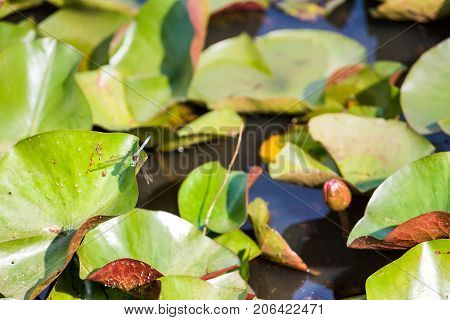 Pink Red Closed Lily Flower Buds With Pads In Pond And Blue Dragonfly