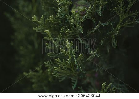 Cypress tree leaves texture and background. Close up view of cypress green leaves. Green leaves texture. Organic background. Abstract texture and background for designers. Natural pattern.