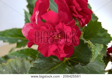 Tender Fresh Burgundy, Dark Begonia  Terry Flowers And Petals  Bush In A Tub On A Light Wooden Table
