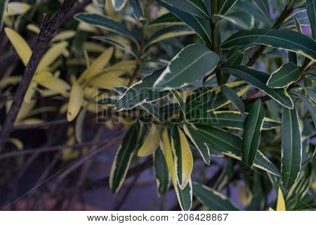 Leaves from Nerium Oleander Apocynaceae Plant from the Mediterranean Sea Close Up