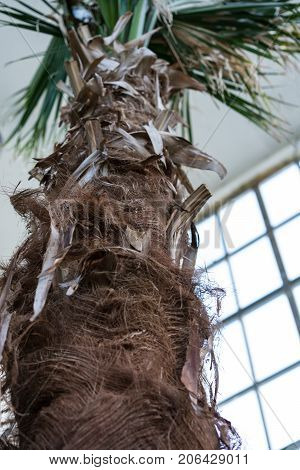Palm Tree Trunk of Livistonia Chinensis Arecaceae, Chinese Livingstonpalm from Southeast Asia Close Up View