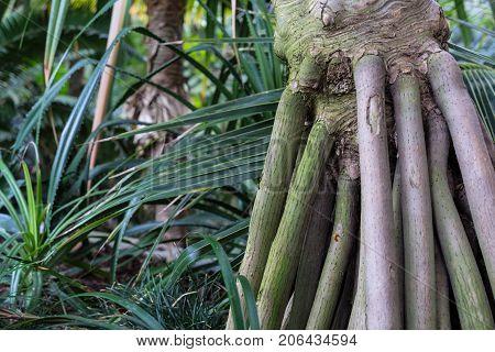 Tree Trunk of Pandanus Utilis Pandanaceae, Madagascar Screw Tree