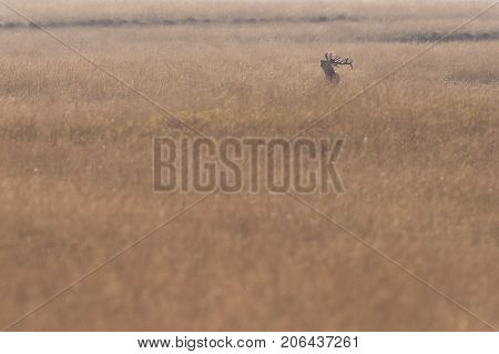 Bellowing Red Deer Stag In High Yellow Grass Backlit By Sunlight.