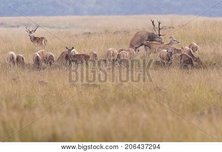 Red Deer Stag Mating With Hind In Field.