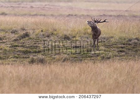 Bellowing Red Deer Stag In Field With High Yellow Grass.
