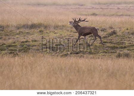 Bellowing Red Deer Stag Running In Field.